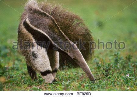 Giant anteater searching for termites, Myrmecophaga tridactyla, Pantanal, Brazil - Stock Photo