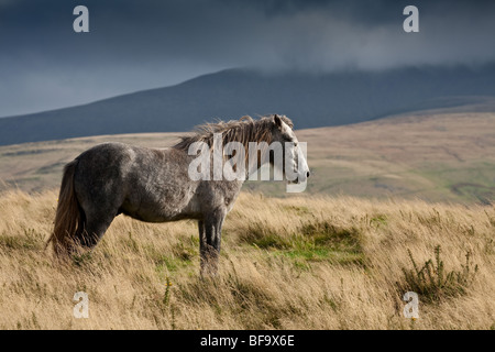 GREY WELSH MOUNTAIN PONY ON MOUNTAINSIDE BRECON BEACONS NATIONAL PARK SOUTH WALES - Stock Photo
