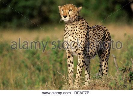 Cheetah hunting, Acinonyx jubatus, Masai Mara Reserve, Kenya - Stockfoto