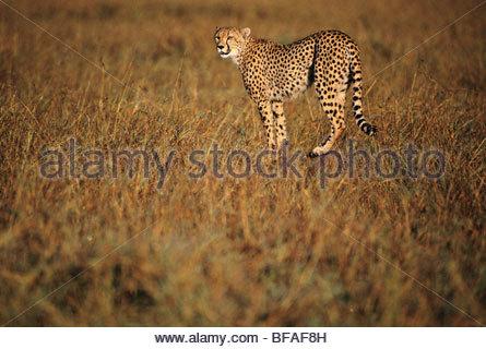 Cheetah hunting, Acinonyx jubatus, Kenya - Stockfoto