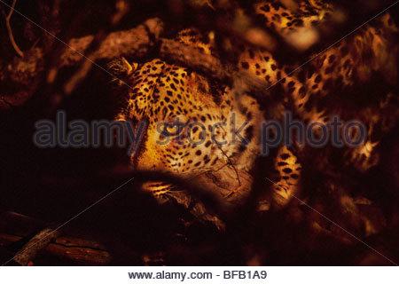 Leopard in dense bush, Panthera pardus, Namibia - Stock Photo
