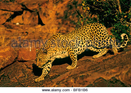 Leopard female stalking, Panthera pardus, Namibia - Stock Photo