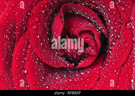Rose bloom covered water drops closeup - Stock Photo