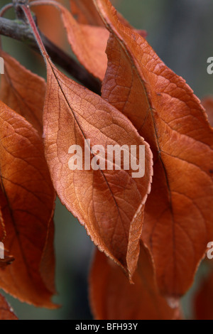 Autumn colors illustrated by red brown leaves hanging from a branch of a garden plum tree in portrait upright format - Stock Photo