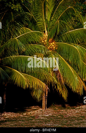 Palm tree palm trees palms along beach in Negril Jamaica - Stock Photo