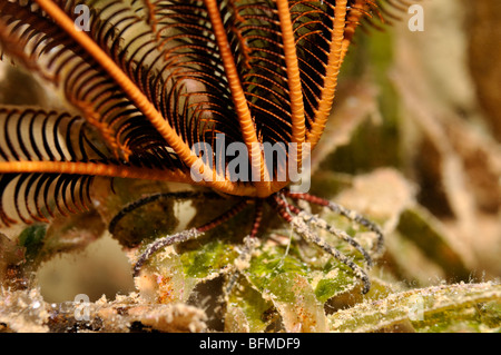 Sawtoothed 'feather star', Oligometra serripinna. Close-up of 'feet' holding onto seagrass. 'Red Sea' - Stock Photo