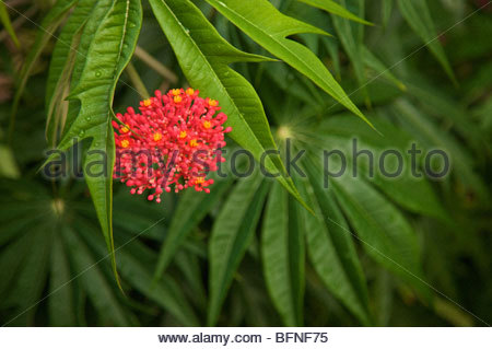 A beautiful red flower at Mockingbird Hill, Jamaica. - Stock Photo