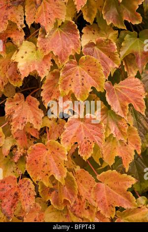 Boston ivy leaves in autumn. - Stockfoto