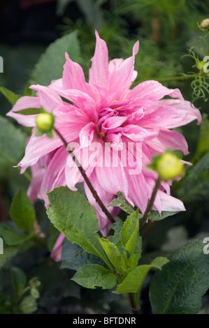 A pink dahlia flower - Stock Photo
