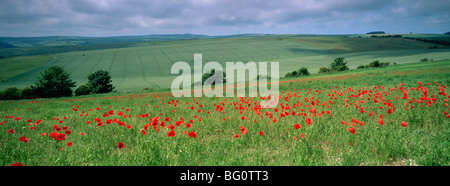 Poppies in June, The South Downs near Brighton, Sussex, England, United Kingdom, Europe - Stock Photo