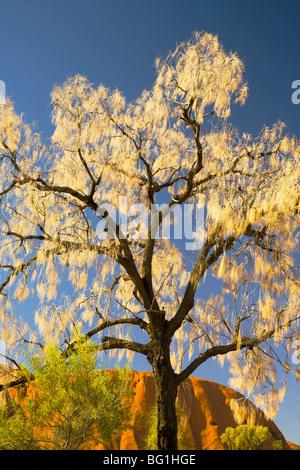 Tree against the sky at Ayers Rock, Australia - Stock Photo