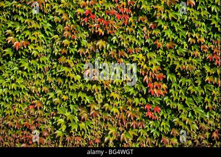 Wall of Boston Ivy - Stock Photo