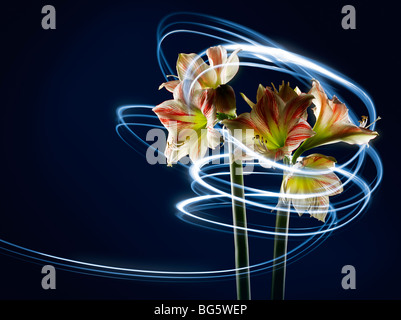 Amaryllis with streaks of light - Stock Photo