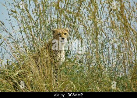 Cheetah cub in long grass, Masai Mara, Kenya - Stockfoto