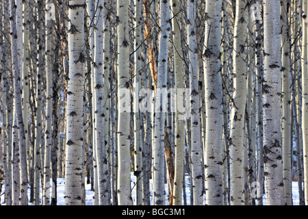 Stand of Aspen Trees between Pyramid Lake and Patricia Lake near the town of Jasper, Jasper National Park, Canadian - Stock Photo
