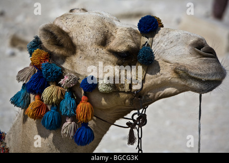 Camels are colorfully festooned with cotton baubles and fancy saddles for camel rides Pyramids of Giza near Cairo - Stockfoto