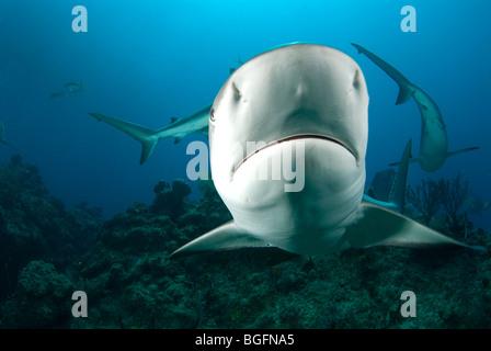 A Caribbean Reef Shark (Carcharhinius perezi) swimming at Grand Bahama Bank with more sharks circling behind. - Stock Photo