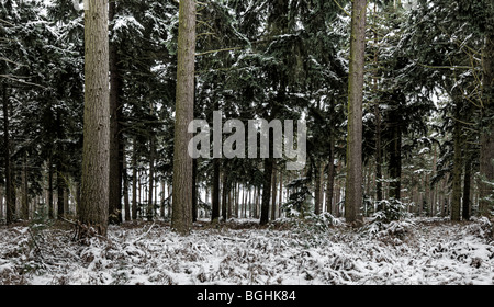 Thetford Forest in the Snow - Stock Photo