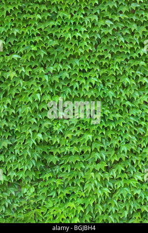 Dense ivy on wall fresh green leaves texture background - Stock Photo