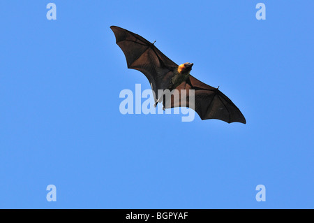 Madagascar Fruit Bat or Flying Fox (Pteropus rufus), adult in flight, Berenty Private Reserve, Madagascar - Stock Photo