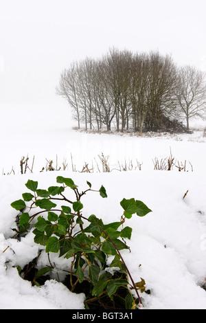 Winter Ivy - Stock Photo