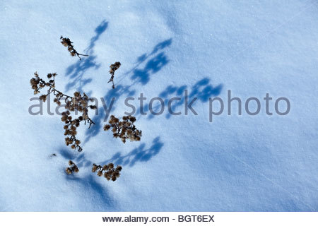 Last summer's flowers casting shadows on snow in Rouge Park an urban wilderness in Toronto Ontario Canada - Stock Photo