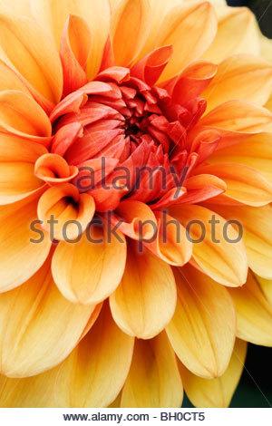 Dahlia flower 'David Howard' - Stockfoto
