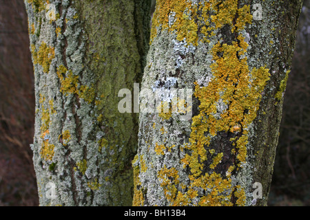 Tree trunk covered in yellow trentepohlia algae stock for What is a tree trunk covered with 4 letters