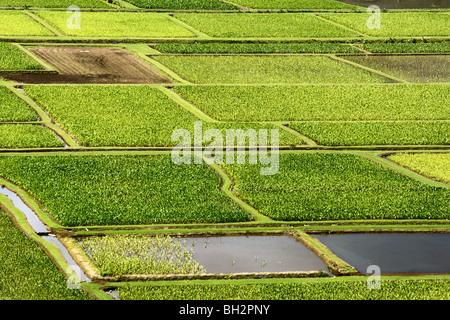 Taro fields in the Hanalei Valley Kauai HI - Stock Photo