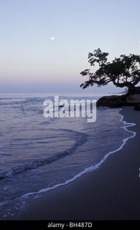 Acaica tree on beach near Jake's Place; Treasure Beach  Jamaica - Stock Photo