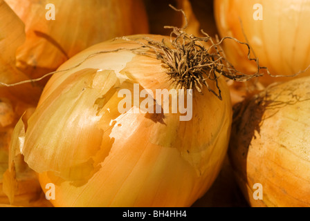 Onion in the sun at a Chicago farmers market. - Stockfoto