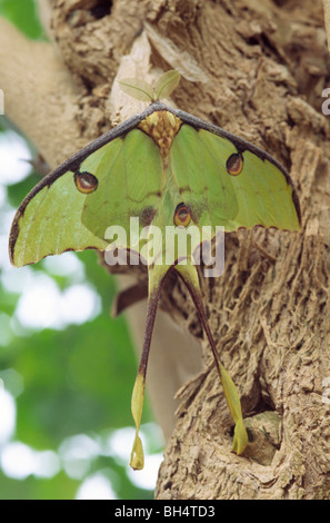 Close-up of an Indian moon moth (Actias selene) hanging from the remains of its pupa at London Butterfly House. - Stockfoto