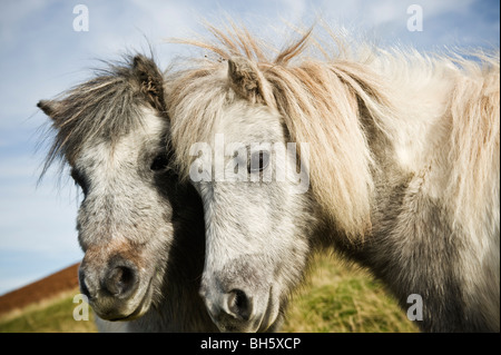 Welsh mountain ponies, Brecon Beacons national park, Wales - Stock Photo