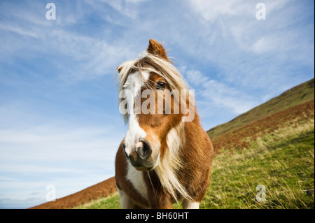 Welsh mountain pony, Brecon Beacons national park, Wales - Stock Photo
