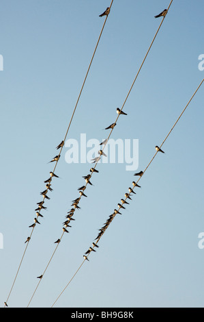 Hirundo rustica. Swallows perched on electricity cable in India - Stock Photo