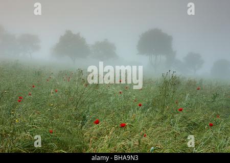 poppies in the mist nr Preci, Valnerina, Umbria, Italy - Stock Photo