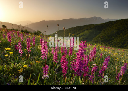 wild flowers on the Forca Canapine at sunrise in Monti Sibillini National Park, Umbria, Italy - Stock Photo