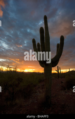 Desert sunset with a saguaro cactus silhouetted against the sky. This one is in Arizona, just west of Tucson. - Stock Photo