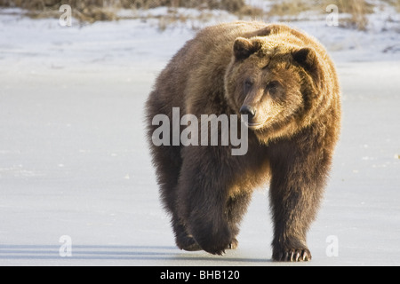 CAPTIVE Grizzly walking in snow At the Alaska Wildlife Conservation Centerm Southcentral Alaska - Stock Photo