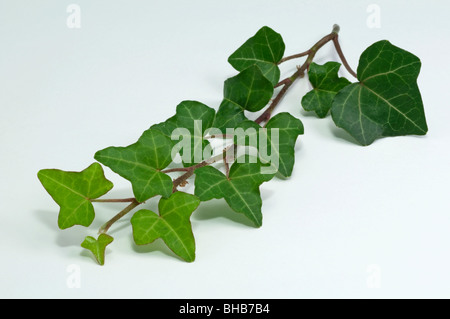 Common Ivy, English Ivy (Hedera helix), twig, studio picture. - Stock Photo