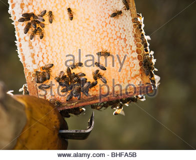 Close up of beekeeper  holding bees and honeycomb - Stock Photo