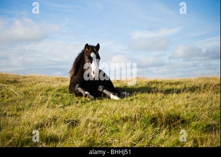 Welsh mountain pony, Brecon Beacons national park, Wales - Stock Photo