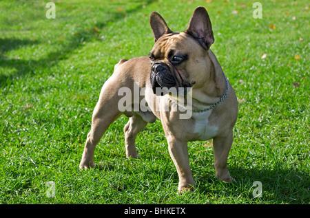 French bulldog (Canis lupus familiaris) in garden - Stock Photo