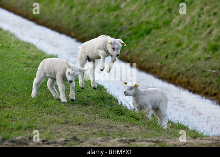 Domestic Texel sheep (Ovis aries) lambs jumping and playing in meadow, The Netherlands - Stock Photo