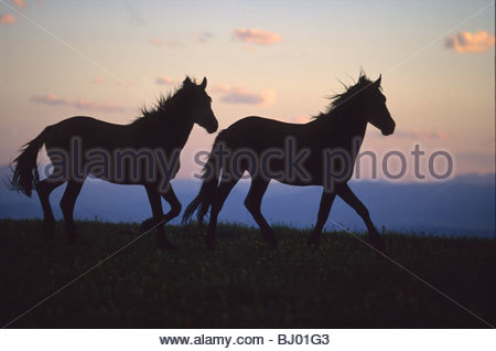Silhouette of two Mustang horses in evening light, Pryor Mountain Wild Horse Range - Stock Photo