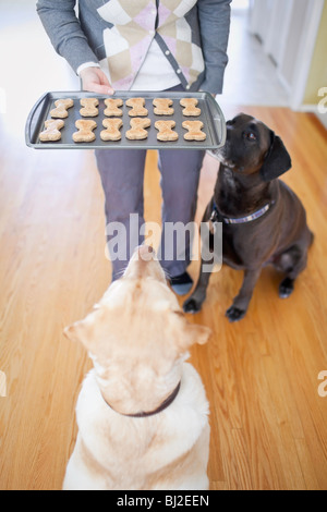 Two Labrador Retrievers begging for a homemade dog biscuit.  Winnipeg, Manitoba, Canada. - Stock Photo