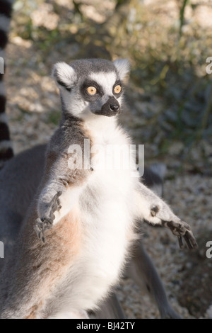 Ring-tailed Lemur (Lemur catta). Exposing front to the sun. Sun bathing. - Stockfoto