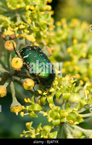 Rose chafer Cetonia aurata on ivy flowers - Stock Photo