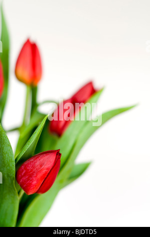 A bunch of red tulips against a white background - Stock Photo