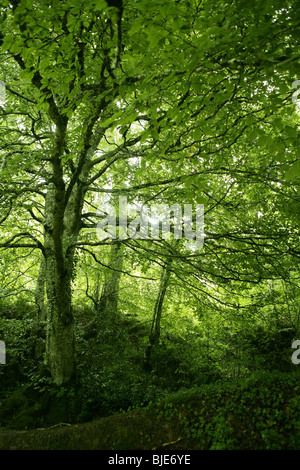 Beech green magic forest with sun reflections in Irati - Stock Photo